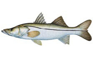 Fish_Snook2